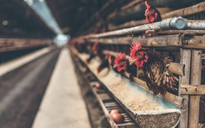 How to clean and disinfect a poultry house